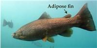 image: Convergent Fish Fins