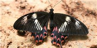 image: Supergene Discovered in Lookalike Butterflies
