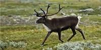 image: Wary Reindeer