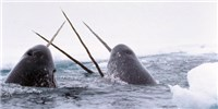 image: Making Sense of the Narwhal Tusk