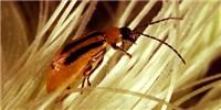 image: Agricultural Pest Out-Evolves GM Crop