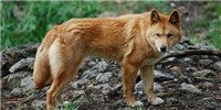 image: New ID for Dingoes