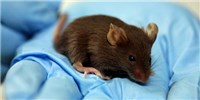 image: Researchers Regrow Mouse Thymus