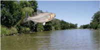 image: Something Is Killing Asian Carp
