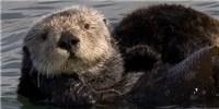 image: Sea Otter's Scourge