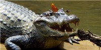 image: Image of the Day: Drinking Crocodile Tears