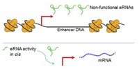 image: Exploring the Roles of Enhancer RNAs
