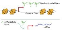 image: Exploring the Roles of Enhancer RNAs