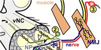 image: Minis Ensure Synaptic Maturation
