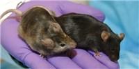 image: NIH to Close Sex Gap in Preclinical Research
