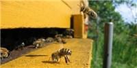 image: Recent Decline in Honeybee Deaths