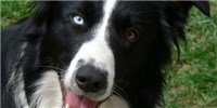 image: Border Collies vs. <em>E. coli</em>