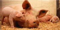 image: Female Pigs May Sense Sex of Sperm