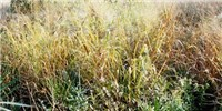 image: Engineered Microbe Could Ease Switch to Grass