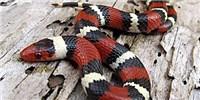 image: Snake Imitators Persist