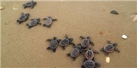 image: Image of the Day: Sea Turtle Sprint