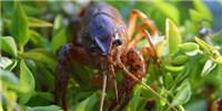 image: Anxious Crayfish