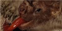 image: Vampire Bats Lack Bitter Taste