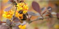 image: Opinion: Bumblebees in Trouble