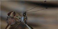 image: Image of the Day: Owlfly Origins