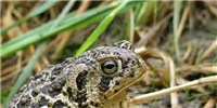 image: Image of the Day: Threatened Toad