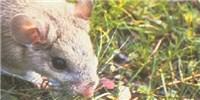 image: Gut Microbes Detoxify Rat Diets