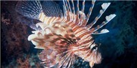 image: Dustup Over Lionfish Science Fair Project