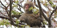 image: Blood Cell Counts Low in Fukushima Monkeys
