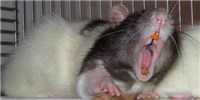 image: Rat Odors Teach Fear