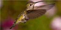 image: Hummingbirds Out-hover Helicopters