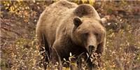 image: How Bulgy Bears Keep Diabetes at Bay