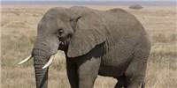 image: Poached Toward Extinction?