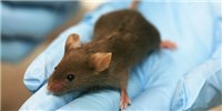 image: Lab Versus House Mouse