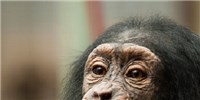 image: Chimps Empath-eyes?