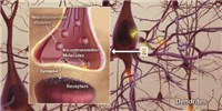 image: Synaptic Pruning Improves Autism in Mice