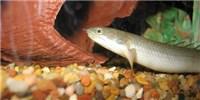 image: Walking Fish Model Evolution