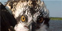 image: Image of the Day: Sea Hawk Stare-Down