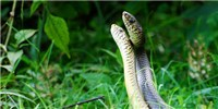 image: Image of the Day: Snake Scuffle