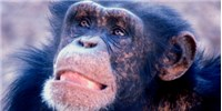 image: Chimp Culture Caught on Camera