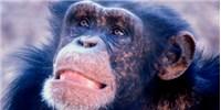 image: Chimp Culture Caught on Camera