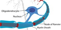image: Myelin's Role in Motor Learning