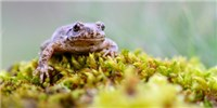 image: Virus Decimating Spanish Amphibians