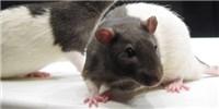 image: To Kill a Lab Rat
