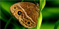 image: Butterfly Eyespots Deflect Predation