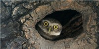 image: Image of the Day: Spot the Owlet