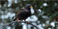image: Probing Starling Sleep