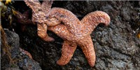 "image: Virus May Explain ""Melting"" Sea Stars"
