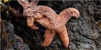 "image: Virus May Explain ""Melting"" Sea Stars"