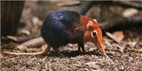 image: Image of the Day: Scarce Sengi