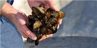 image: Ocean Acidification Harming Shellfish